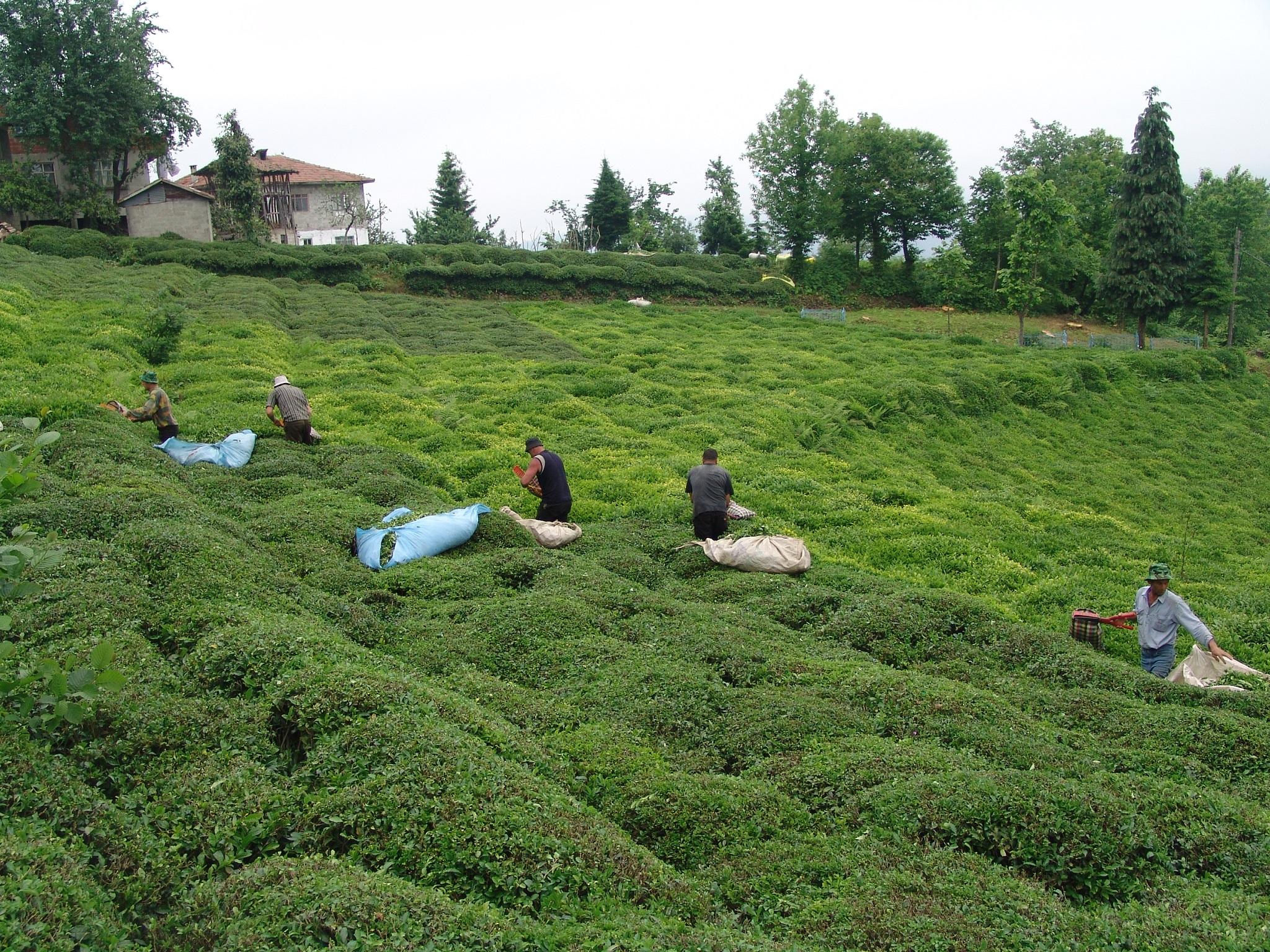 Çay üreticilerine çağrı