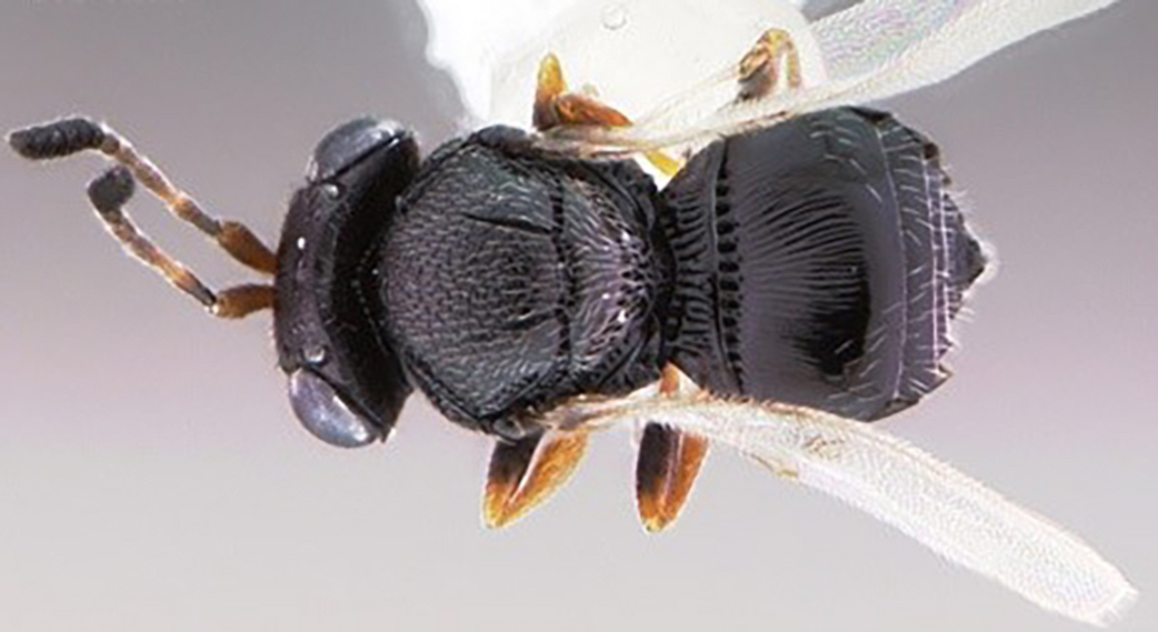 Zararlı böceğe karşı yararlı böcek