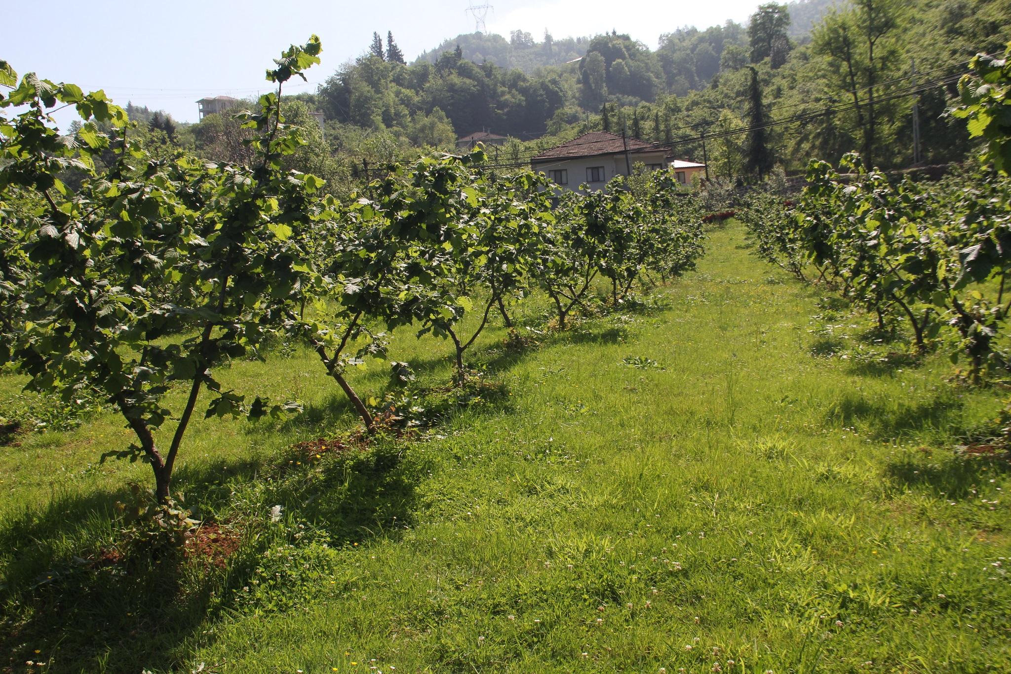Fındık bahçelerinin yenilenmesine devlet desteği talebi