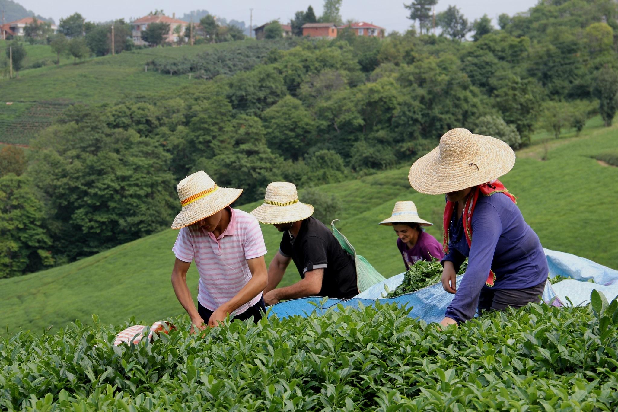 Yaş çay alım kampanyası için pandemi kuralları
